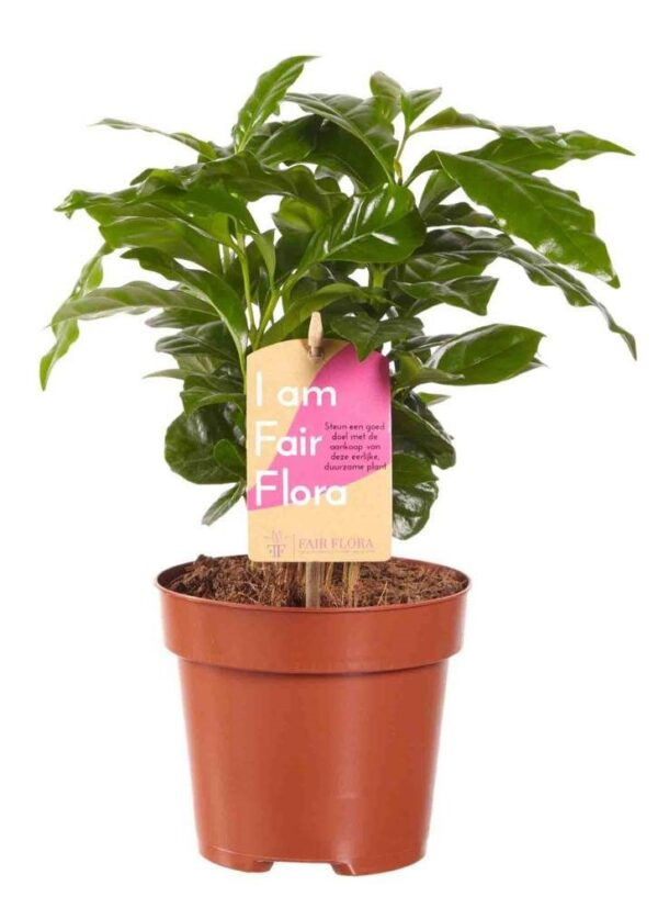 Koffieplant in pot