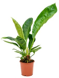 Jungle king plant in pot