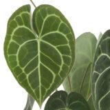 Anthurium clarinervium blad
