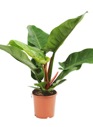 philodendron in kwekerspot