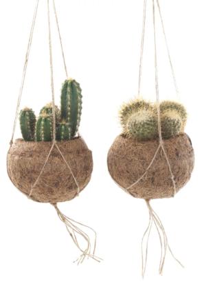 Kokodama Cactus in potjes