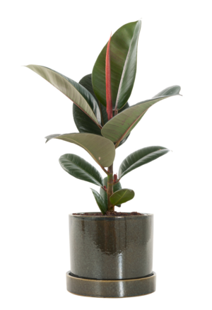 Ficus Elastica in pot