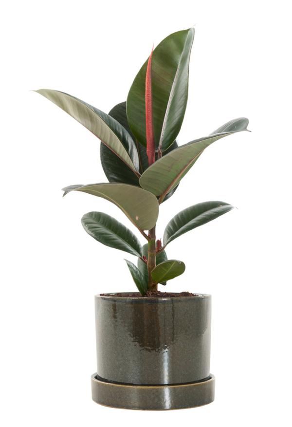 Ficus Elastica in pot