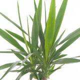 bladeren yucca