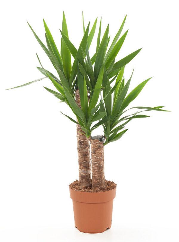 Yucca in kwekerspot
