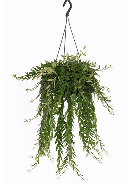 aeschynanthus in pot