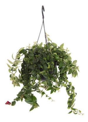 aeschynanthus rasta in pot