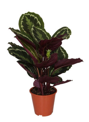 calathea medaillon in kwekers pot