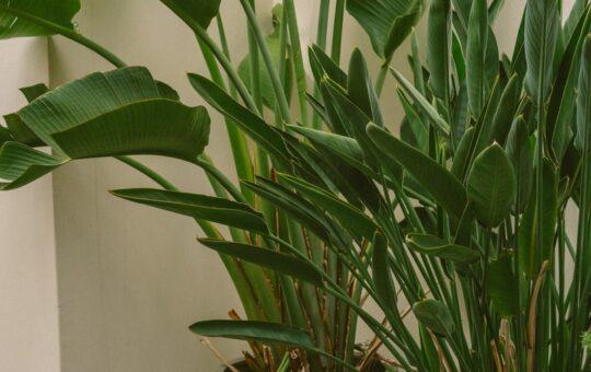 strelitzia nicolai en reginae