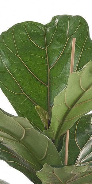 Ficus-lyrata-21_zoom.jpg