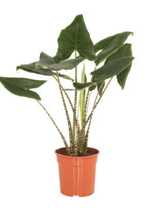 alocasia zebrina in pot