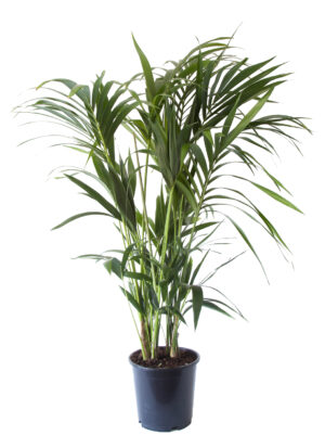 Kentia palm in pot