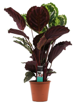 calathea medaillon in pot