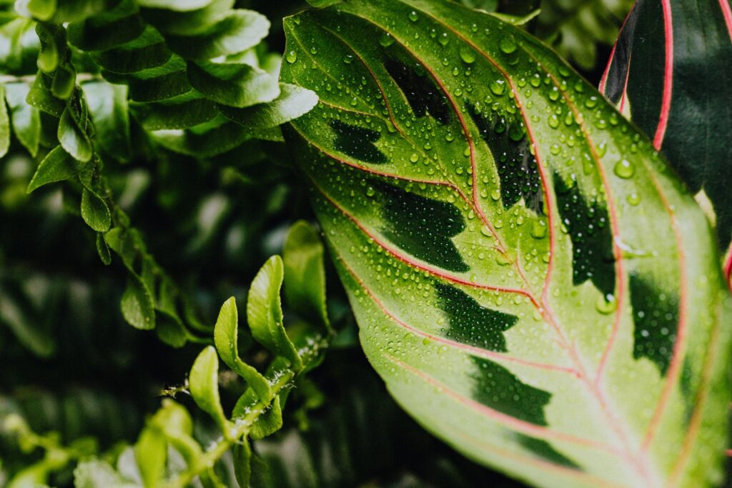 calathea blad