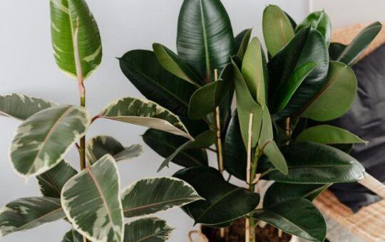 ficus planten