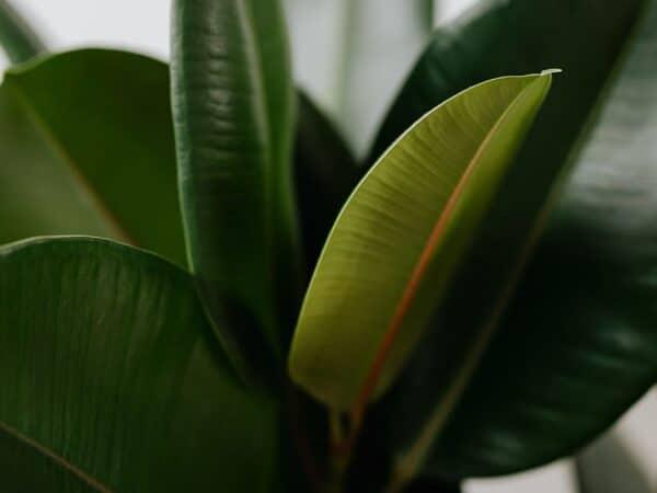 ficus blad