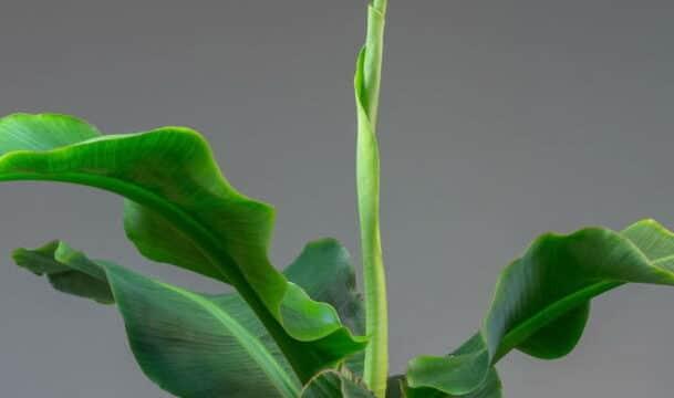 plant musa