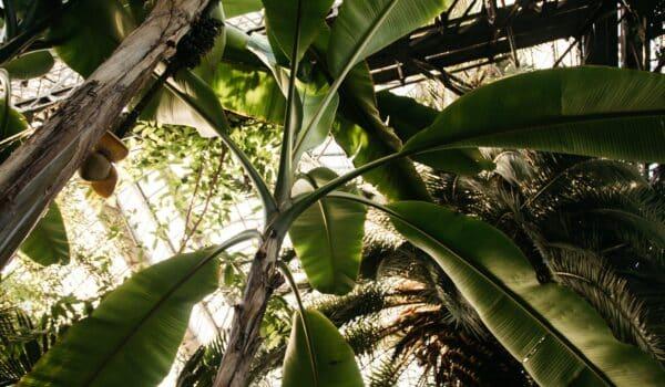 musa planten in kas