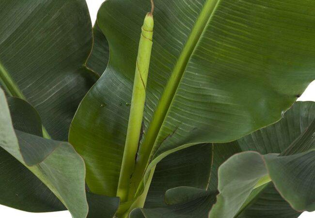 musa bananenplant blad