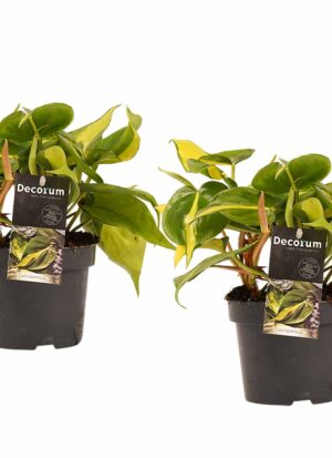 philodendron scandens duo