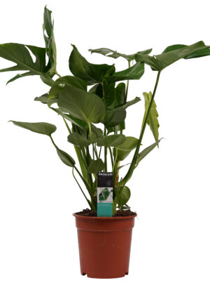 Monstera Deliciosa gatenplanten