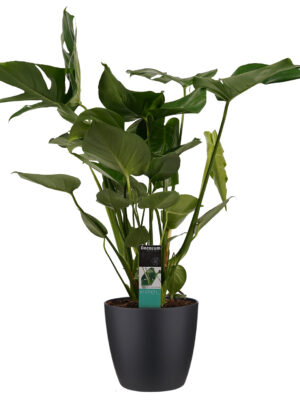 monstera in sierpot