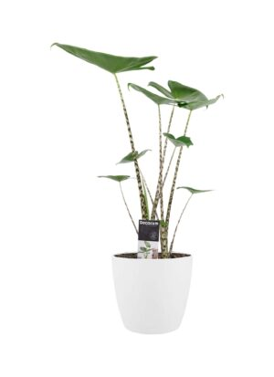 alocasia zebrina in elho pot